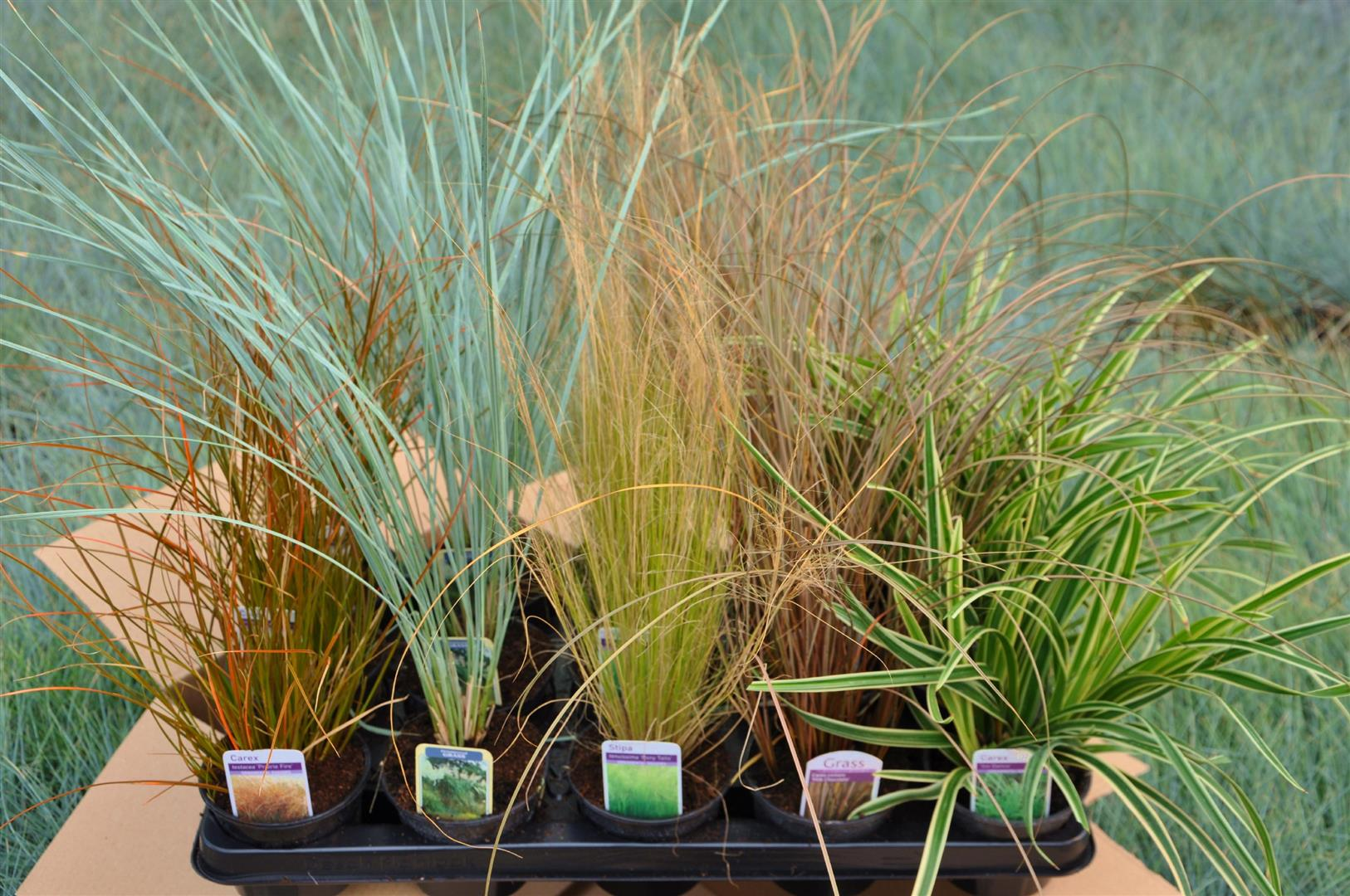 Mail order special offers alpines grasses lightweight for Best ornamental grasses for pots