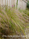 AGM Grass Anemanthele lessonia Stipa arundinacea