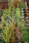 Ornamental Grasses choose your own