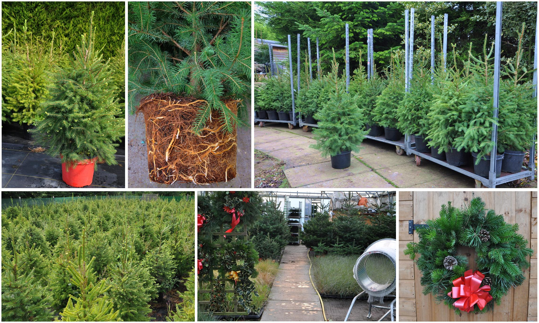 Where To Buy Christmas Tree Seedlings